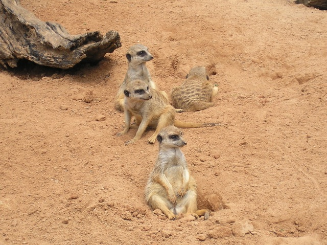 Meerkats at Taronga Zoo (April 2008)