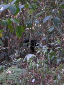 A very bad photo of a real cassowary
